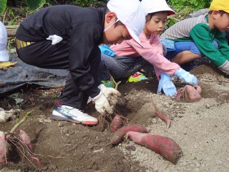 京北第一小児童が芋堀り