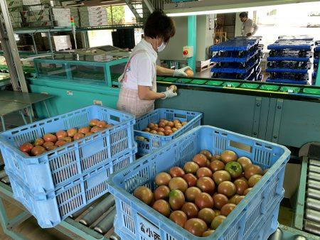 長雨日照不足と酷暑を乗りこえ抑制トマト出荷開始