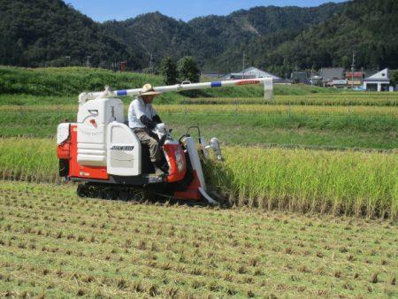 五百万石の荷受け開始とともに稲刈り実施